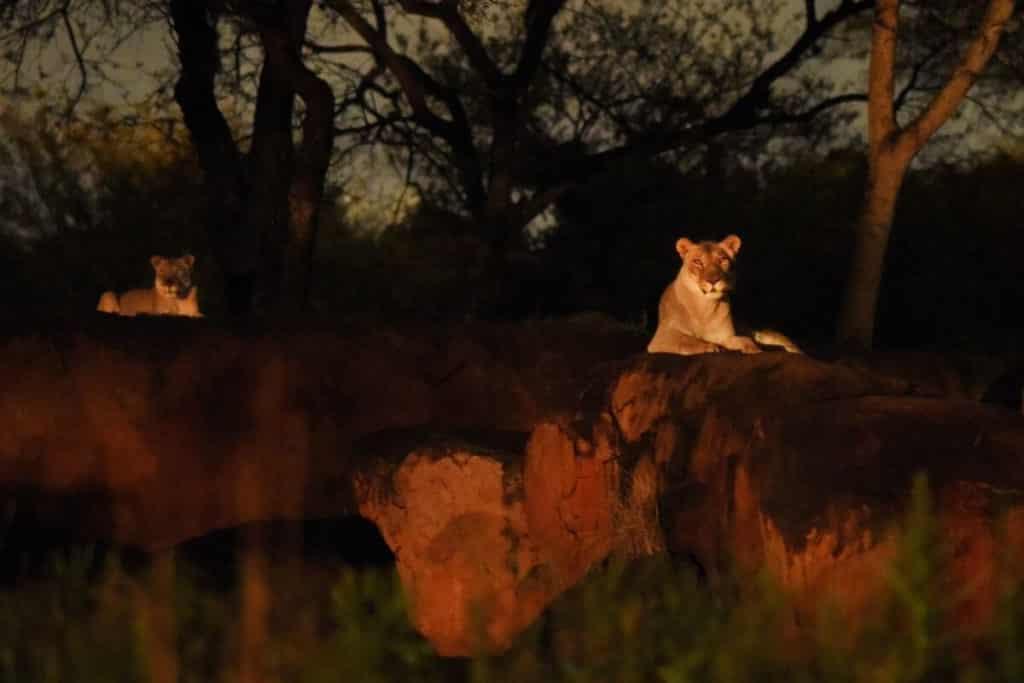 Photo of 2 lioness lounging on rocks at Animal Kingdom's Safari at Night experience.