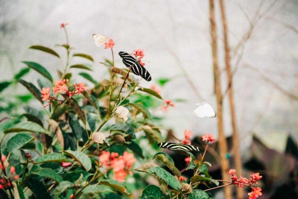 Closeup of butterflies on a bush.