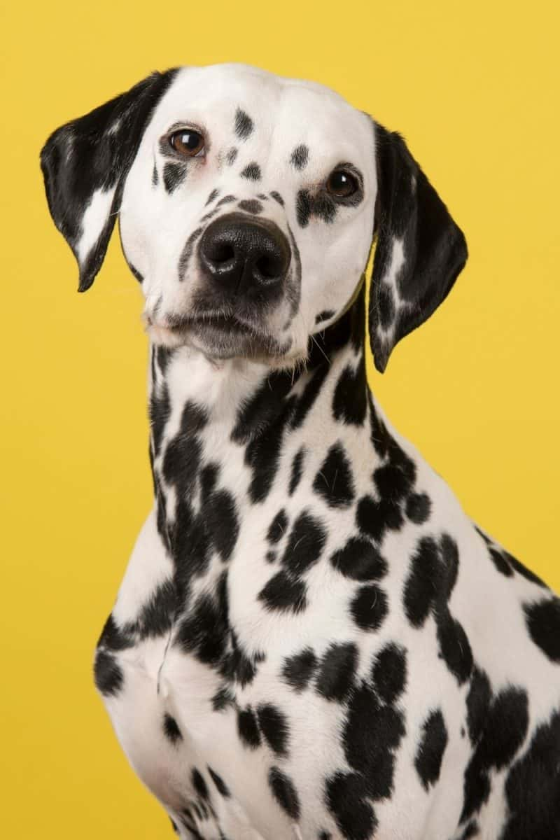 A Dalmatian dog poses in front of a yellow background.